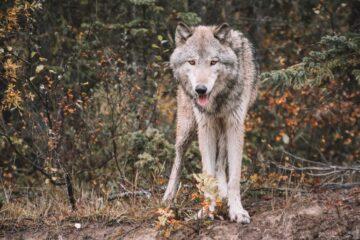 Dømt for trusler mod ulvedræber