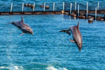 Endnu en delfin i fjorden ved Mors