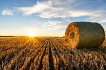 Meget stor variation i resultaterne af årets hvedehøst