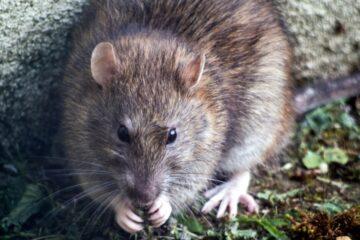 Rekordmange rotter – men ikke på Mors