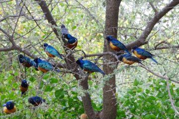 Lokal ornitolog fortæller om fuglevenligt agerbrug i Ghana