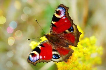Sådan får du sommerfugle i din have