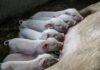 Krav om mindre lugt fra svineproduktion